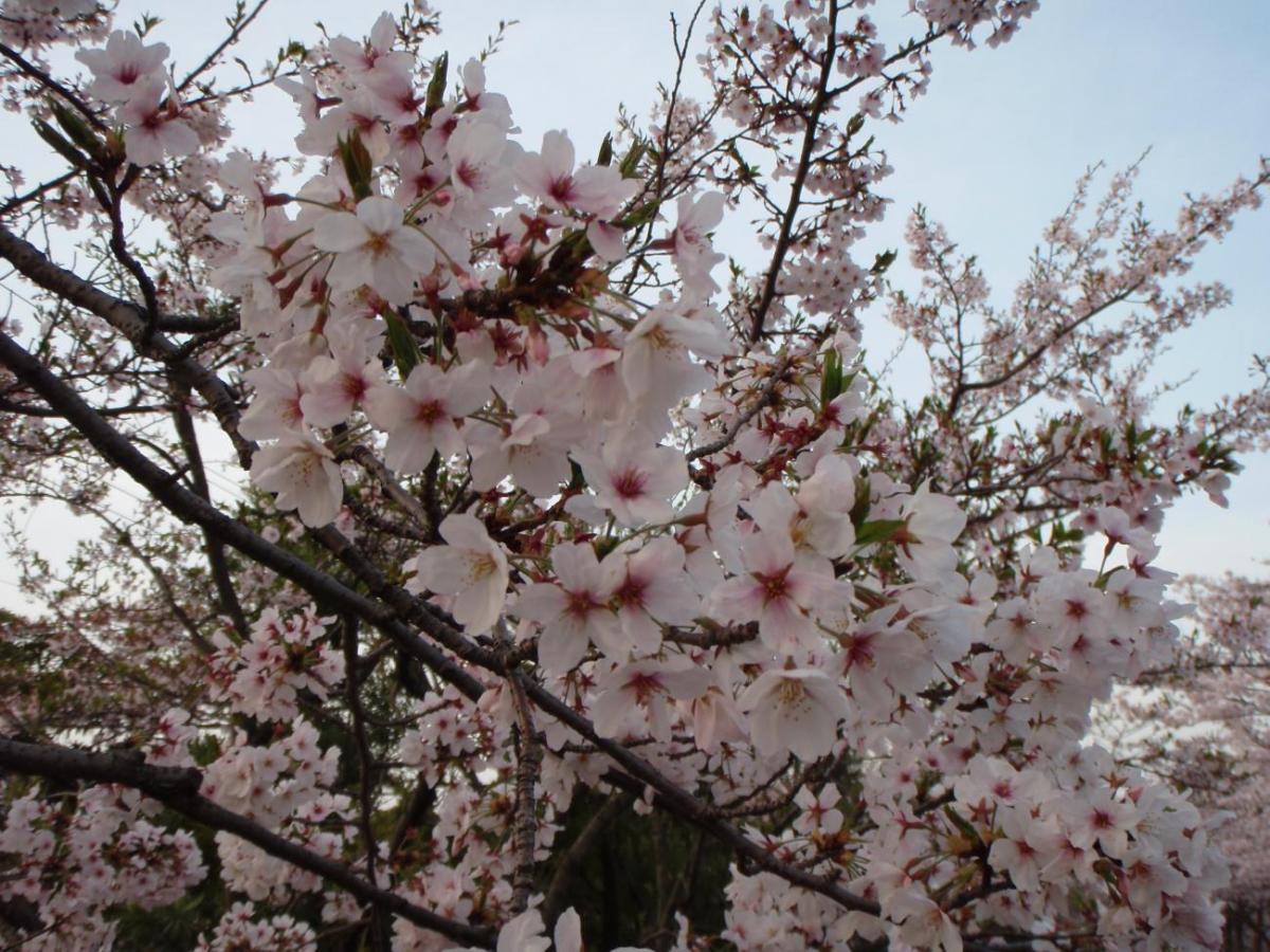 580 Koleksi Gambar Pemandangan Bunga Sakura Terbaik