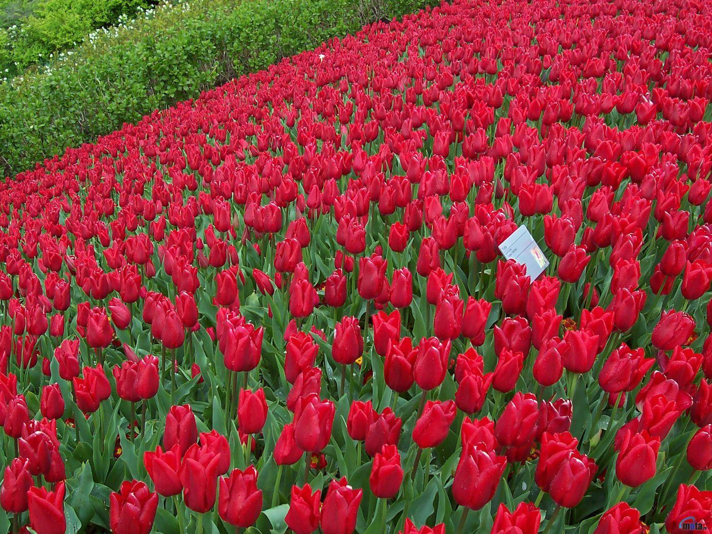 Red rose garden 1 f0gtggus85 14001050 red rose garden 1 f0gtggus85 14001050 izmirmasajfo